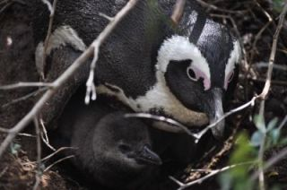 Baby black-footed penguins