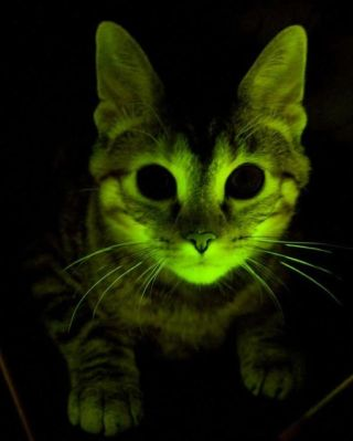 A genetically engineered cat glows.