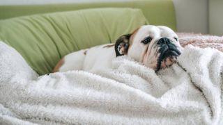 dog flu: dog feeling poorly on sofa