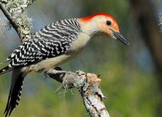 red-bellied-woodpecker-110217-02