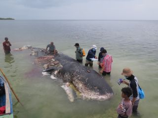 This dead sperm whale was found washed up on a beach in southern Indonesia on Nov. 19, its stomach full of nearly 13 pounds (6 kilograms) of plastic trash.