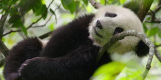 A sleepy Panda in Born in China