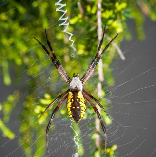 black and yellow garden spider, Argiope aurantia, spiders