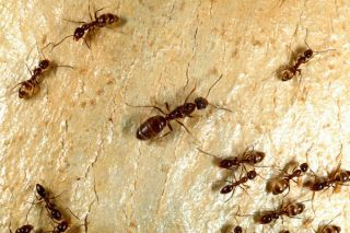 Argentine ants, an invasive species in New Zealand disappears on its own.