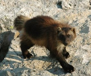 DO NOT REUSE THIS IMAGE. Wolverines live in cold places that are resource-scarce.