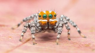 Unlike most of its peacock spider cousins, newfound species Maratus nemo inhabits a wetland ecosystem.