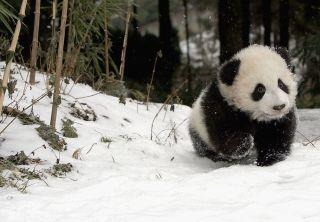 Baby panda in snow