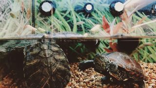 What do pet turtles eat? Two turtles swimming in a tank