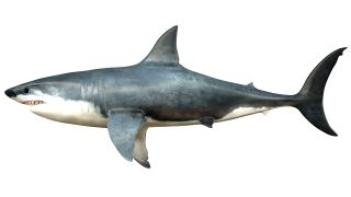 Gigantism was common in extinct lamniform sharks — the group that includes Megalodon — but Megalodon was the biggest by far.
