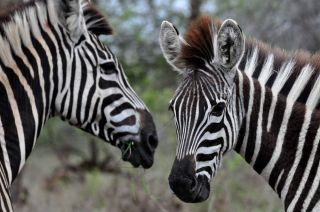 zebras in south africa.