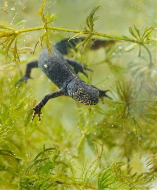 Alpine newt in water