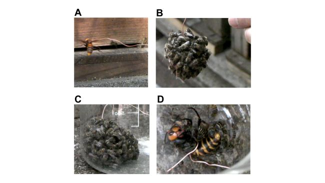 Worker bees forming a hot defensive bee ball. Click for whole series of images: (A) Presentation of a wire-hung hornet to the beehive as a decoy. (B) Hundreds of workers form a hot defensive bee ball surrounding the wire-hung giant hornet. (C) Bee ball recovered in a glass beaker. (D) The giant hornet is dead 60 min after the bee ball forms.