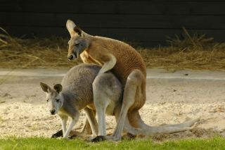 Kangaroos mating in Australia.