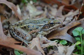 Atlantic coast leopard frog, new frog species, sounds, croak, cough