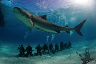tiger shark divers, shark tracking, shark ecotourism, swimming with sharks, shark diving, shark tours, satellite tagging sharks