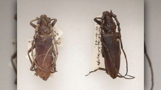 The two oak capricorn beetles found in the bog.