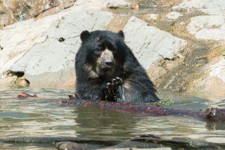 Bouba the Andean bear