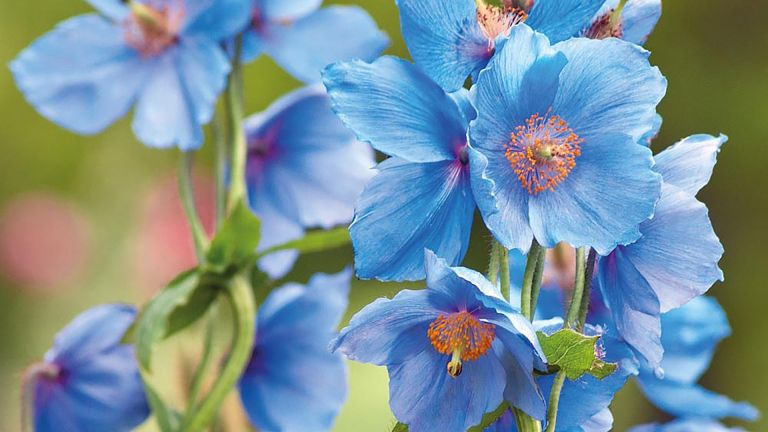 Meconposis, or the Himalayan poppy, are shade loving plants that are hard to grow