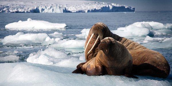 Blue Planet 2 stills walrus