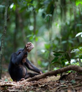 Young chimp bashes nut with rock.