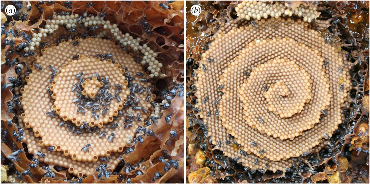 Strange, spiral bee combs look like fantastical crystal palaces. Now we know why.