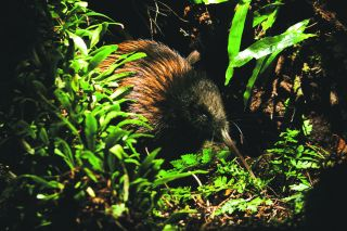 As their home was the last major land mass to be colonised, the creatures of New Zealand evolved like nothing else on the planet.