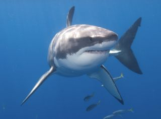 A great white shark in Mexico.