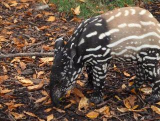 baby_tapir_crop