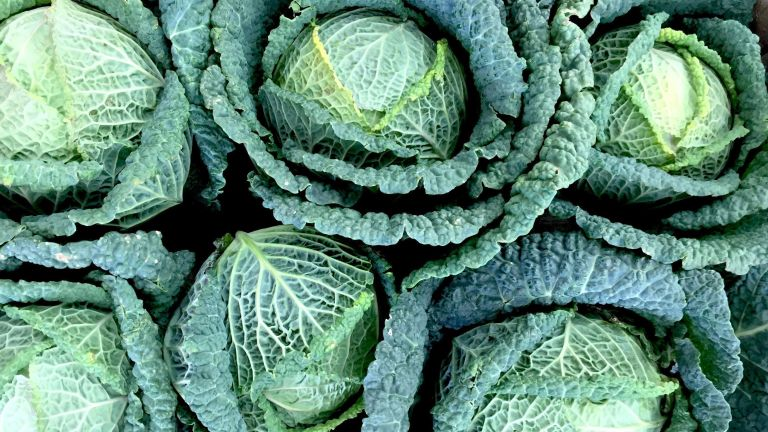 how to grow winter brassicas: Savoy cabbages at harvest