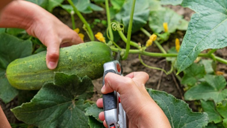 How to prune cucumber plants - using secateurs