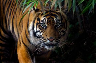 Tigers: The Largest Cats in the World | Live Science