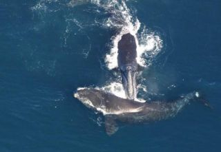 right-whales-110421-02