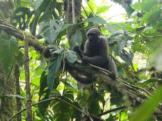 Colombian woolly monkey