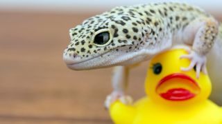 Toys for pet lizards - A lizard playing with a rubber duck