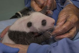 giant panda cub, cute baby animals, San Diego Zoo