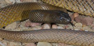 snake, venom