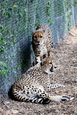 Cheetah twins arrive at the Denver Zoo in July, 2012