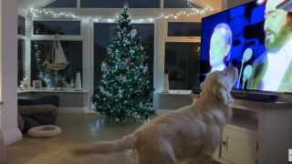 Hugo the dog sings White Christmas in front of the T.V.