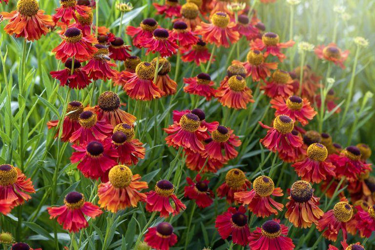 The Chelsea chop: vibrant orange, summer flowers of Helenium