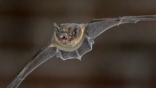 A Species Of Bat Called Nathusius Pipistrelle Seen in Detail Mid-Flight