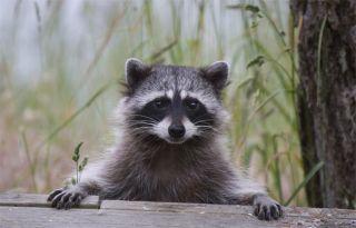 raccoon dogs, russia