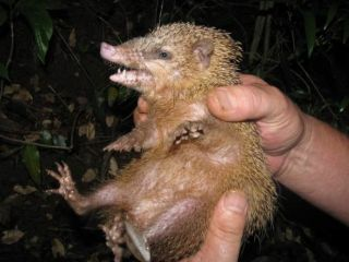 A common tenrec in a forest in Madagascar.