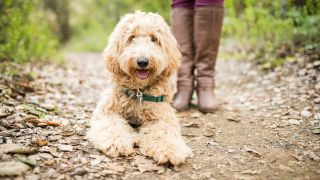 Labradoodle facts: Labradoodle sat on hiking trail
