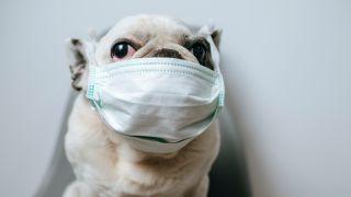 Pets at home dog wearing mask
