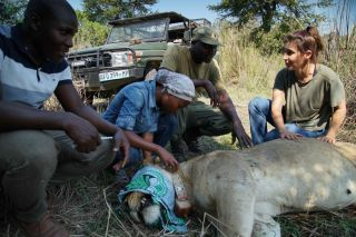 Paola Bouley and Lion Project Team monitor the growing lion population in Gorongosa National Park