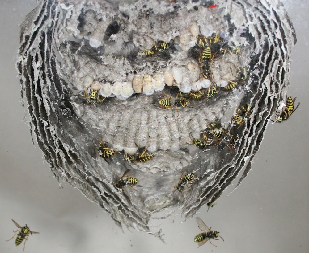 Revolt In The Hive Why Worker Wasps Sometimes Kill Their Queens Live Science