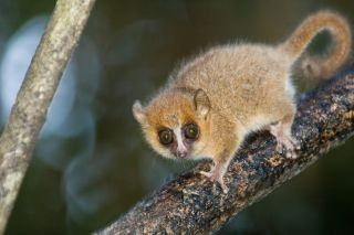 A gray mouse lemur (<em>Microcebus murinus</em>), which is endemic to Madagascar, shown here in Ranomafana National Park, Madagascar. They are some of the smallest primates, with a head and body length of just 4.7 to 5.5 inches (12 – 14 cm) and a tail len