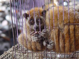 Slow Loris in Wildlife Market