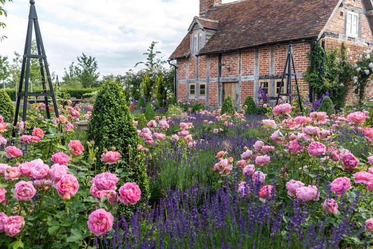 Rose garden ideas with Boscobel by David Austin