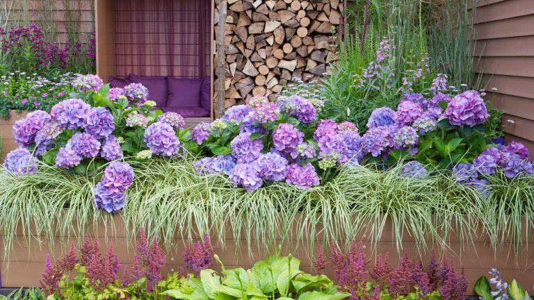 how to grow hydrangeas: hydrangeas and grasses in planter